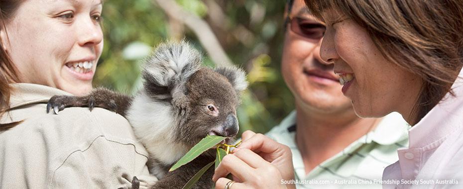 Feeding koalas, South Australia